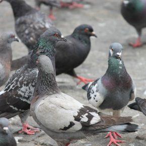 Ciudadanos (Cs) Sabadell reclama medidas urgentes para controlar la proliferación de palomas en Sol i Padrís